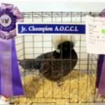 Res Champion Bantam by Brittany Shippee